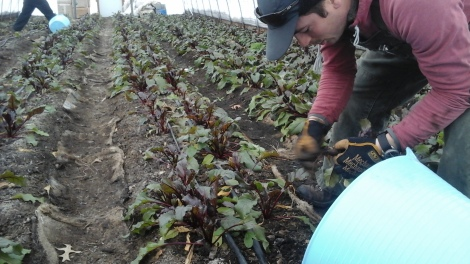 Harvesting beets at Rising Harvest Farms 1_14_2016